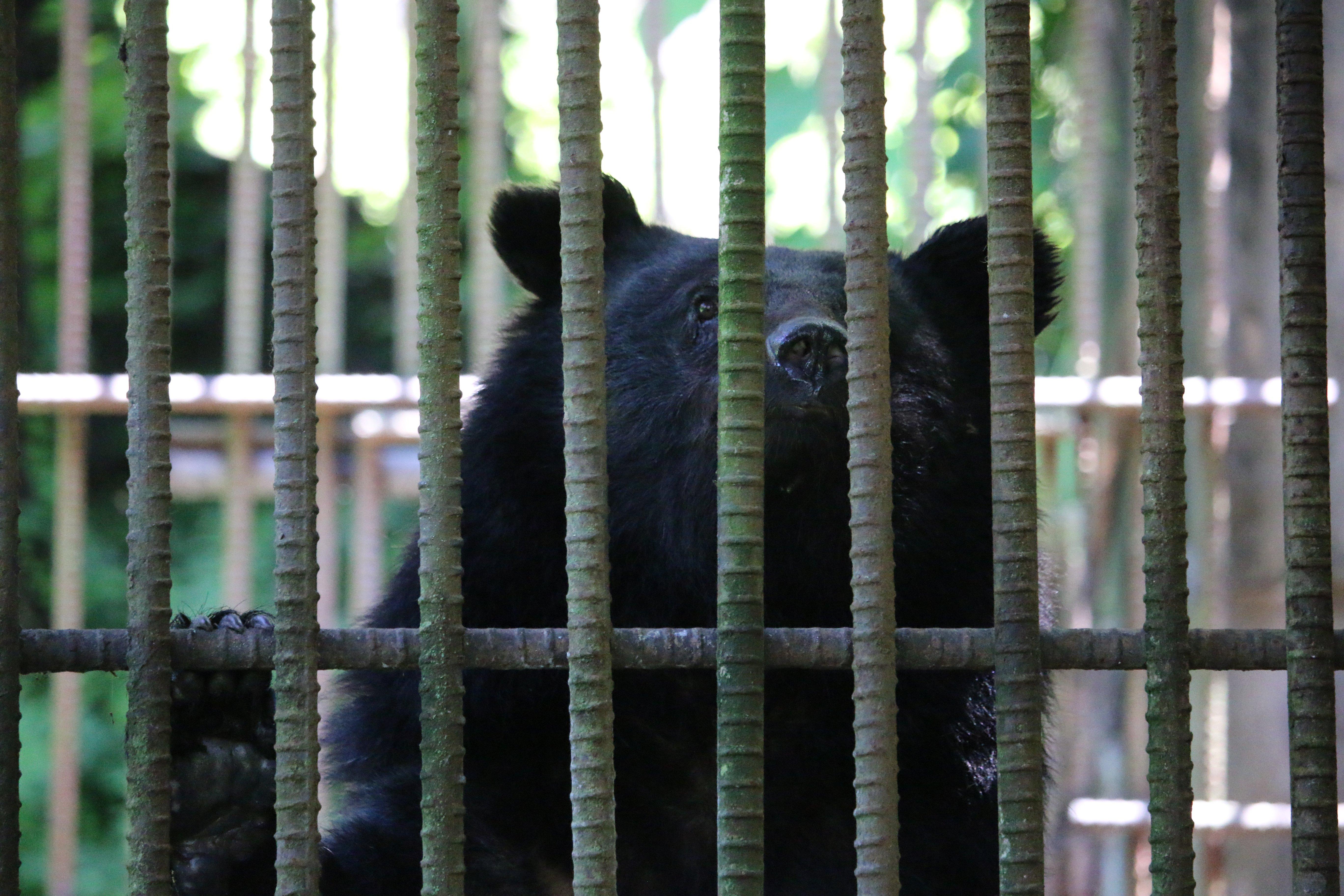 Asiatic black bear on bear farm. PC Joshua Powell