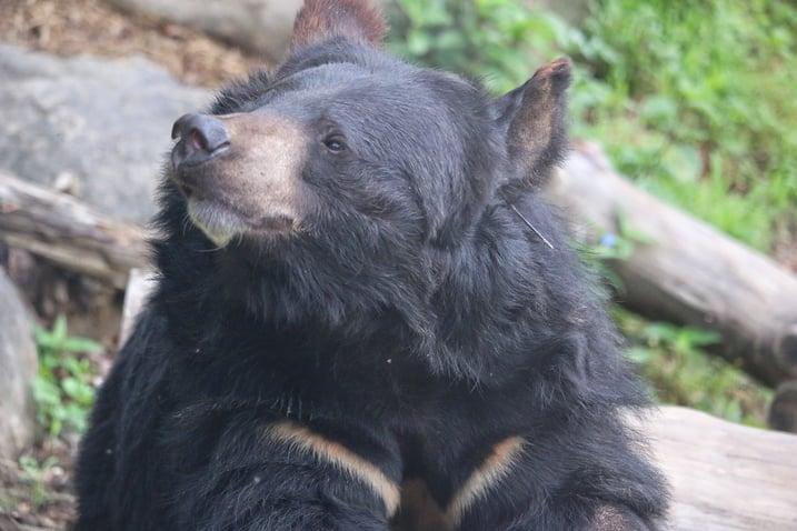 Asiatic black bear, Species Restoration Technology Institute, Korea National Park Service, Jirisan National Park. PC Joshua Powell