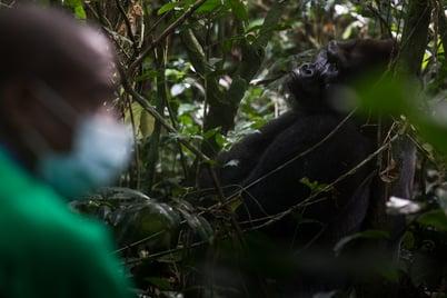 Kingo the silverback gorilla © Jerome Starkey 2020
