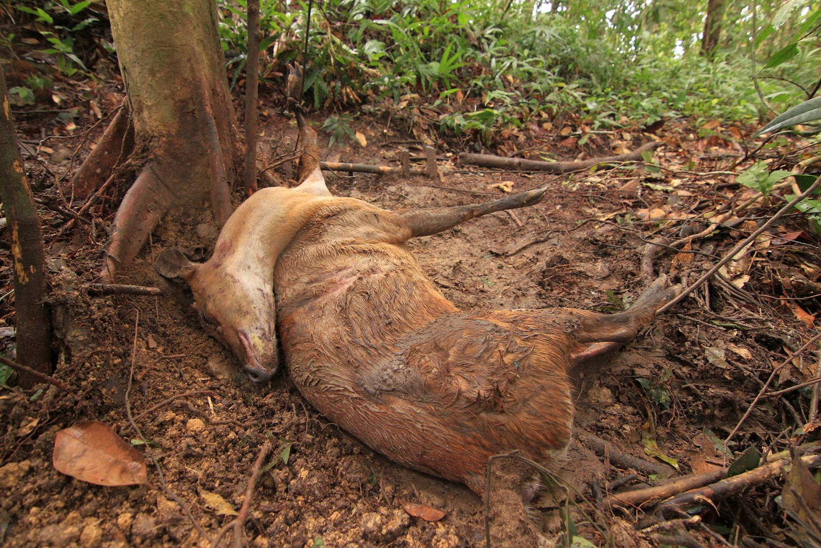A Southern red muntjac killed in a snare in Malaysia. © Lau Ching Fong / WWF-Malaysia