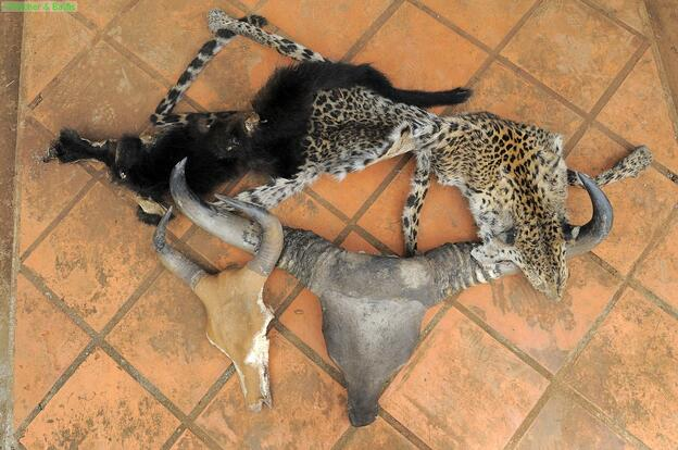 Banteng, gaur and leopard skin confiscated in Cambodia © Fletcher and Baylis
