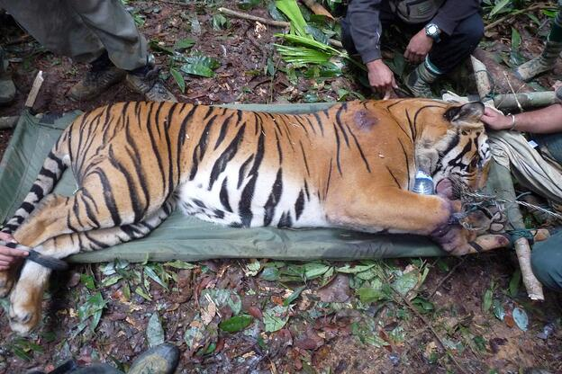 A tiger is tranquilised for treatment after it is found caught in a wire snare in Malaysia's Belum-Temengor Forest Complex, 2009. © Lau Ching Fong / WWF-Malaysia