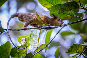 A bare-tailed woolly opossum (Caluromys philander) in a tree near Santa Rosa de Cabal, Colombia.