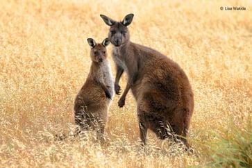 output-kangaroo