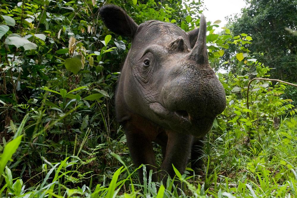 Head portrait of Sumatran rhino